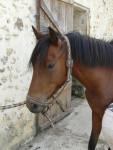 Cheval vikcy - Trotteur français Femelle (6 ans)