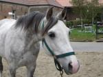 Cheval Eclair des Pins - Pur sang arabe Mâle (13 ans)