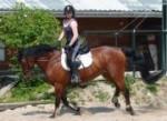 Cheval hannisse - Trotteur anglais Femelle (15 ans)
