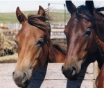 Cheval Sally and baby - Trotteur anglais Femelle (7 ans)