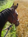 Cheval louchka - Trotteur anglais Femelle (12 ans)