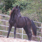 Cheval Latino Lover - Pur sang anglais Femelle (5 ans)