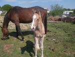 Cheval Charlie and Millie - Pur sang anglais Femelle (3 mois)