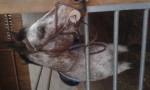 Cheval tenesse - Pur sang anglais Mâle (7 ans)