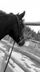 Cheval Zatara - KWPN Femelle (11 ans)