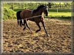 Cheval schantal - Holsteiner Femelle (Vient de naître)
