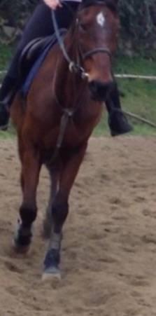 Cheval Frida - Holsteiner  (0 mois)
