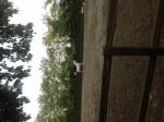 Cheval mafous - Oldenbourg Femelle (1 an)