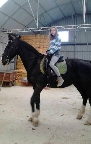 Cheval malboro - Oldenbourg Mâle (10 ans)