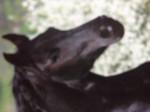 Cheval Phonix - Frison Femelle (Vient de naître)