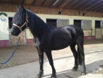 Cheval Mary - Frison Femelle (8 ans)
