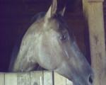Cheval Phoenix Rising - Paint horse Mâle (5 ans)