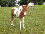 Stella - Paint horse (4 mois)