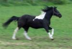 Cheval Happy - Paint horse Femelle (8 ans)