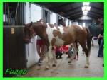 Cheval fuego - Paint horse Mâle (7 ans)