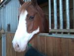 Cheval Jessie - Paint horse Femelle (6 ans)