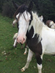 Cheval Barad - Paint horse Femelle (2 ans)