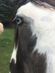 Cheval Barad - Paint horse Mâle (2 ans)