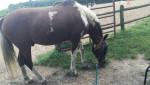Cheval Smores - Paint horse Mâle (5 ans)