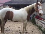 championhorse12 - Paint horse (11 ans)