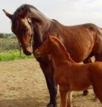 Cheval Caballo - Hanovrien Femelle (Vient de naître)