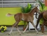 Cheval Castille - Hanovrien Femelle (4 mois)