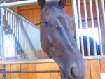 Cheval My Horse - Hanovrien Mâle (12 ans)