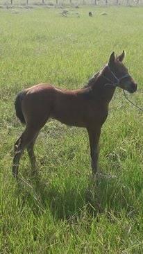 Cheval f23 - Hanovrien Femelle (4 mois)