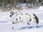 Cheval Totem - Appaloosa Mâle (9 ans)