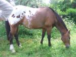 Cheval inioka - Appaloosa Mâle (21 ans)