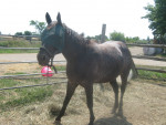 Cheval Old ponyy - Appaloosa Femelle (4 ans)