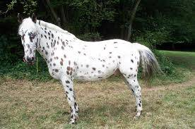 Cheval Cracotte - Appaloosa Femelle (5 ans)