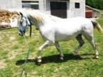 Cheval irina - Lipizzan Femelle (4 ans)