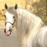 Cheval Lily - Lipizzan Femelle (3 ans)