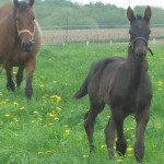 Cheval Shadow and his mom:) - Trotteur américain Mâle (5 mois)