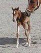 Cheval Lucy - Trotteur américain Femelle (1 mois)