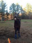Cheval Steven - Trotteur américain Femelle (6 ans)