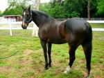 Cheval Total Eclipse - Trotteur américain Femelle (5 ans)