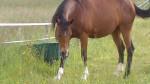 Cheval praline - Tennessee Walker Femelle (5 ans)