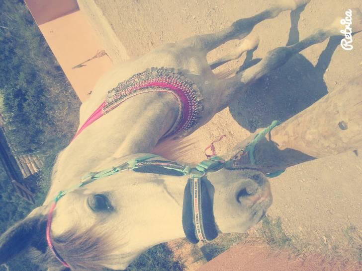 Cheval Tchispa - Pure race espagnole (PRE) Femelle (3 ans)