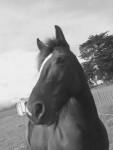 Cheval tuhoe - Cob irlandais Femelle (10 ans)