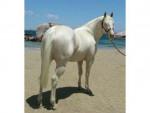 Cheval Pretty Boy - Quarter Horse Mâle (8 ans)