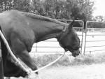 Cheval Wallie. - Quarter Horse  (Vient de naître)