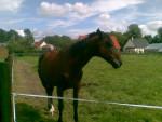 Cheval becki - Quarter Horse Femelle (4 ans)