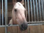 Cheval Mireille - Quarter Horse Femelle (7 ans)
