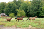 Cheval Shy and Jersey - Quarter Horse Mâle (8 ans)