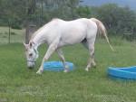 Cheval Casper - Quarter Horse Femelle (10 ans)