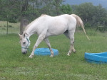 Cheval Casper - Quarter Horse Mâle (10 ans)