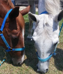 Cheval Chief and Maggie - Quarter Horse Femelle (0 mois)