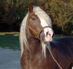 Cheval Loup - Lusitanien Femelle (9 ans)